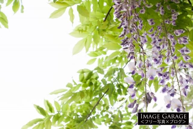 藤の花のフリー写真素材(無料)