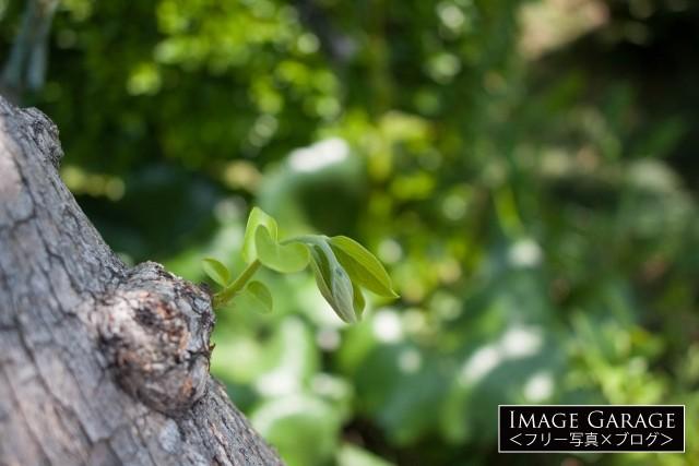 柿の新芽のフリー写真素材(無料)