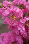 ピンク色のサルスベリの花