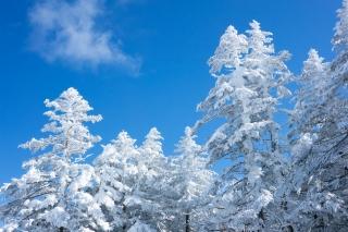 青空と雪の積もった木