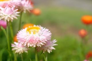 長い期間お花が楽しめるムギワラギク'