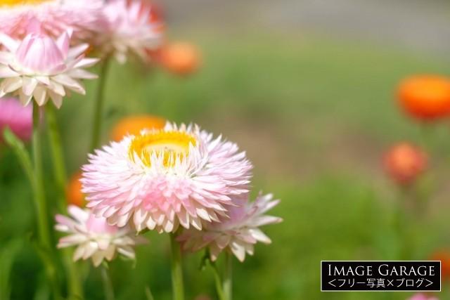 長い期間お花が楽しめるムギワラギクのフリー素材写真(無料)