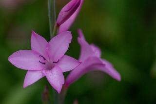 ピンク色のワトソニア