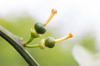花後についた小さなみかんの実