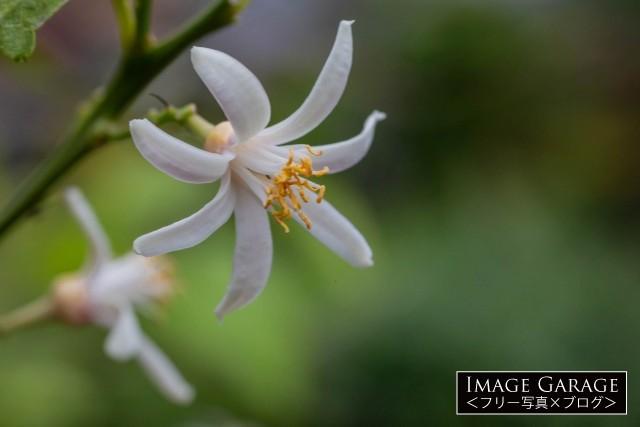 花弁が7枚あったレモンの花のフリー写真素材