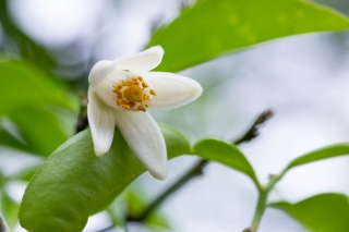 白くて可愛らしい柚子の花