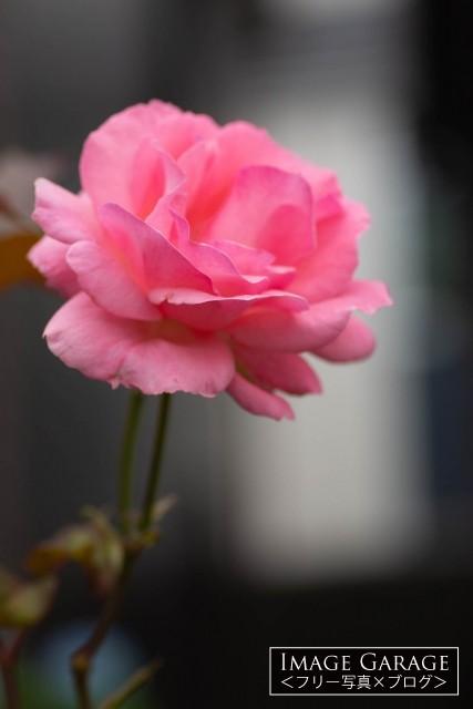 ピンク色の一輪のバラのフリー写真素材