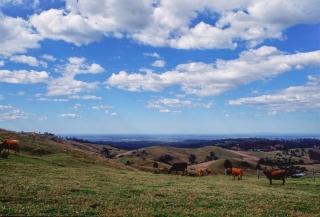 オーストラリア・クイーンズランド州の牧場の牛