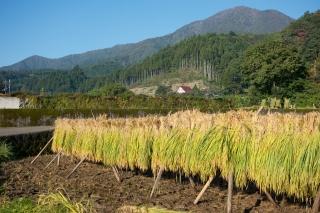道志村の稲の天日干し(はさがけ)