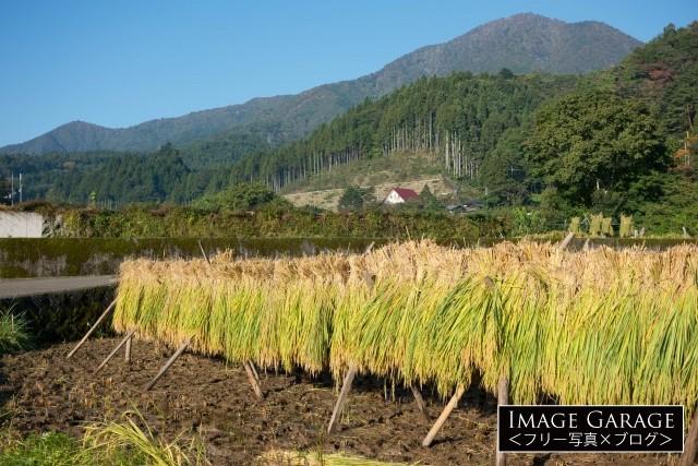 道志村の稲の天日干し(はさがけ)のフリー素材写真(無料)