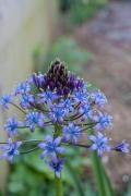 濃青の花を咲かせるオオツルボ