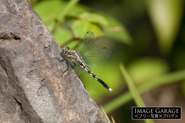 木にとまったシオカラトンボのメスのフリー素材写真(無料)