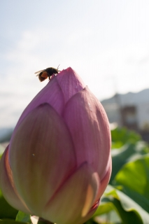 ハスの花とハナバチ