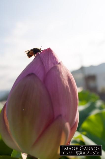 ハスの花とハナバチのフリー素材写真(無料)