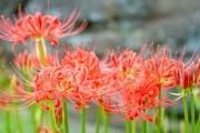 西方寺で撮影した赤い彼岸花(曼珠沙華)の花