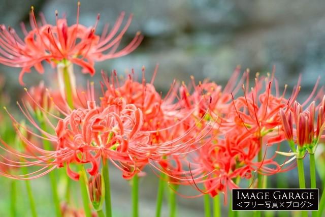 西方寺で撮影した赤い彼岸花(曼珠沙華)の花のフリー素材写真(無料)