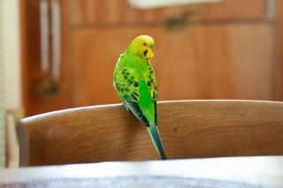椅子の背もたれにとまる黄緑色のセキセイインコ