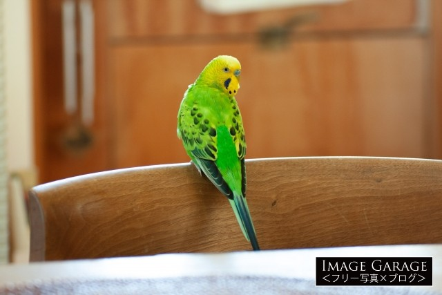 椅子の背もたれにとまる黄緑色のセキセイインコのフリー素材写真(無料)