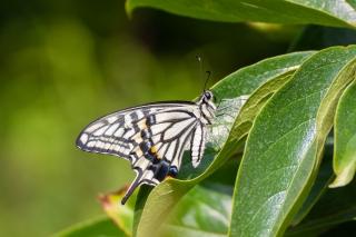 葉にとまるアゲハチョウ(ナミアゲハ)