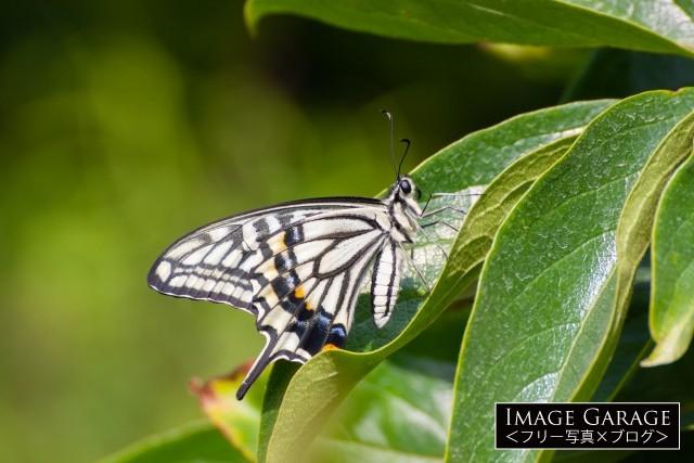 葉にとまるアゲハチョウ(ナミアゲハ)のフリー素材写真(無料)