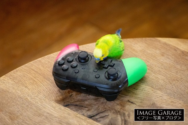 プロコン(ゲームコントローラー)で遊ぶ黄緑色のセキセイインコのフリー素材写真(無料)