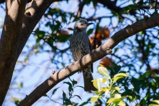 柚子の木にとまるヒヨドリ