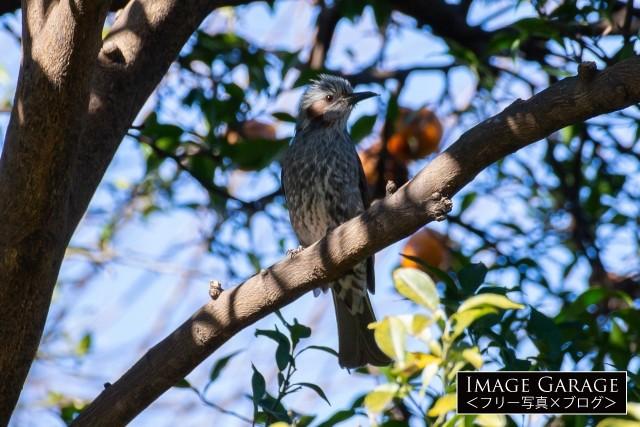 柚子の木にとまるヒヨドリのフリー素材写真(無料)