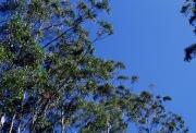 オーストラリアのユーカリの木