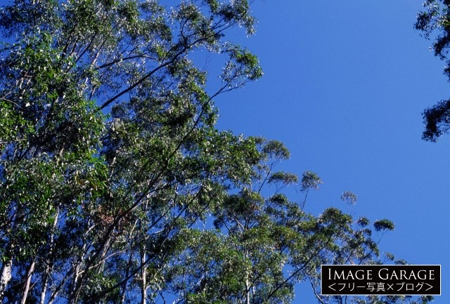 オーストラリアのユーカリの木のフリー写真素材(無料)