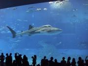 美ら海水族館「黒潮の海」水槽で泳ぐジンベエザメ