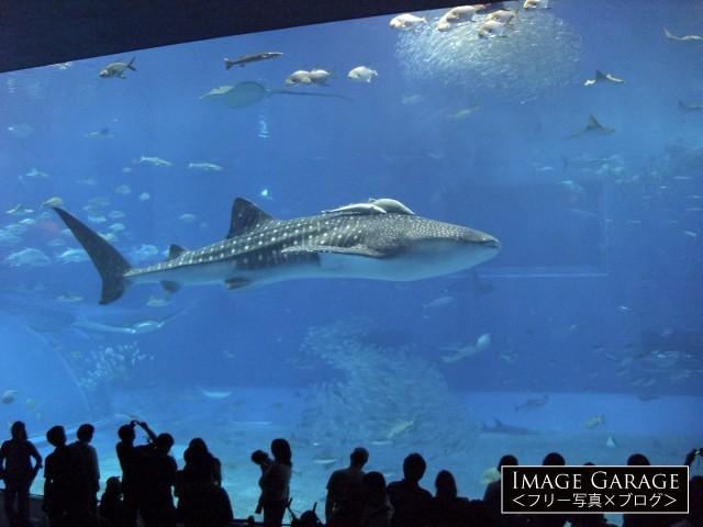 美ら海水族館「黒潮の海」水槽で泳ぐジンベエザメのフリー素材写真(無料)
