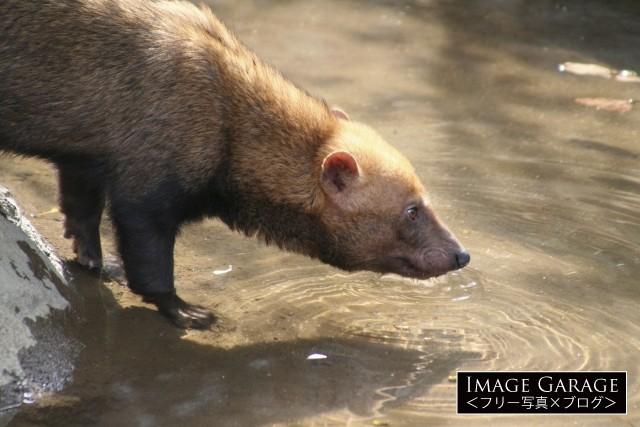 最も原始的な犬の仲間・ヤブイヌのフリー写真素材(無料)