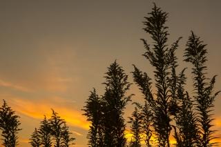 夕焼け空とシルエットのセイタカアワダチソウ