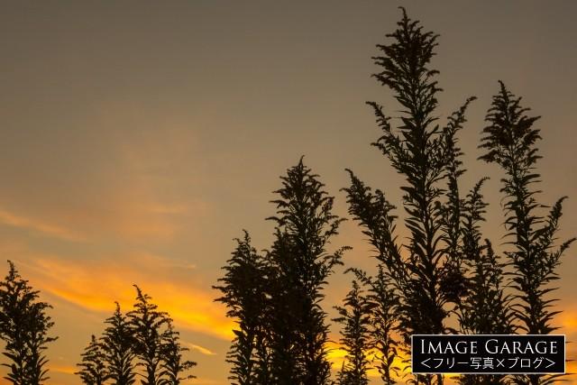 夕焼け空とシルエットのセイタカアワダチソウのフリー素材写真(無料)