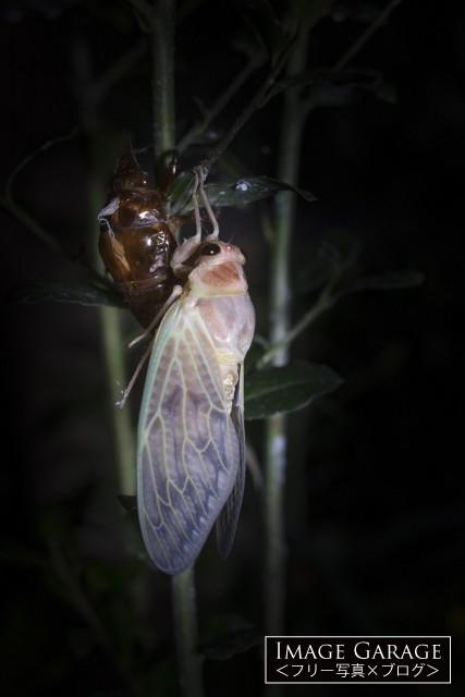 アブラゼミの羽化のフリー素材写真(無料)