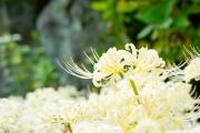 西方寺の白い彼岸花(曼珠沙華)