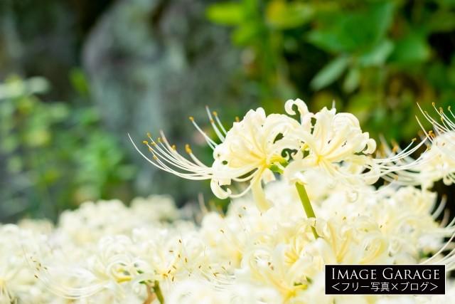 西方寺の白い彼岸花(曼珠沙華)のフリー素材写真(無料)