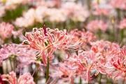 '西方寺のピンク色の彼岸花(リコリス)