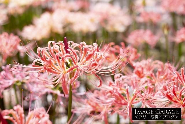 西方寺のピンク色の彼岸花(リコリス)のフリー素材写真(無料)