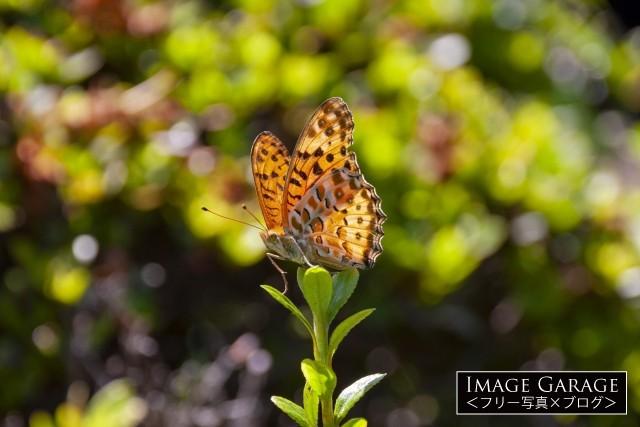 南方系チョウチョ・ツマグロヒョウモンのオスのフリー素材写真(無料)
