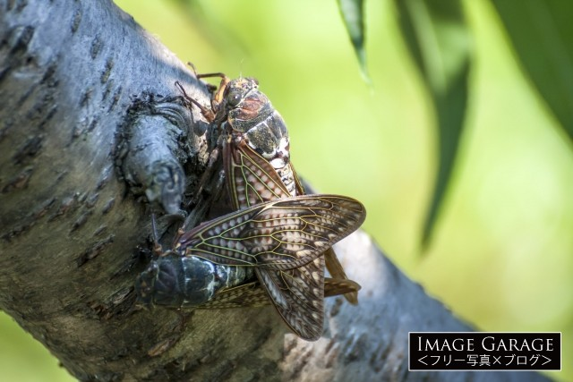 アブラゼミの交尾のフリー素材写真(無料)
