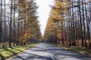 八ヶ岳高原ロッジへ続くカラマツ並木の道