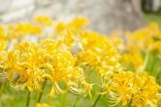 西方寺に咲く黄色い彼岸花 リコリス・オーレア