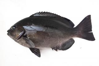釣りの対象魚として人気のあるメジナ