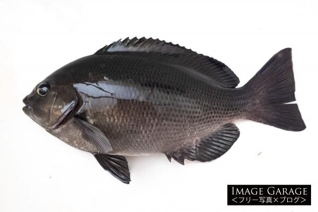 釣りの対象魚として人気のあるメジナのフリー素材写真(無料)