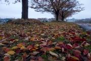 桜の落ち葉・鴨居の桜並木