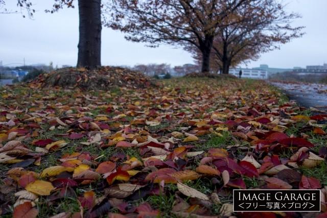 桜の落ち葉・鴨居の桜並木のフリー素材写真(無料)