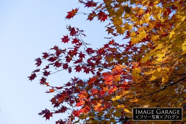 紅葉したもみじの葉のフリー素材写真(無料)