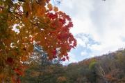 赤く色づくカエデの葉