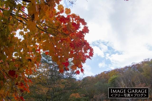 赤く色づくカエデの葉のフリー素材写真(無料)
